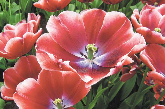 Как выбрать тюльпаны?