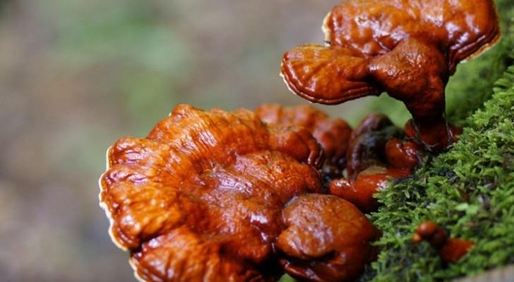 Приобретение гриба «трутовик лакированный», он же Линчжи.